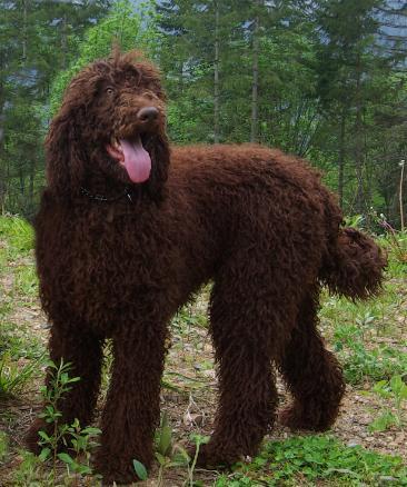 Brown standard poodle images