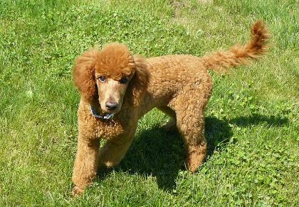 Resultado de imagen para poodle tail