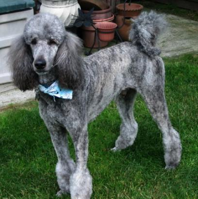 appearing to be a sable   Sable Standard Poodle