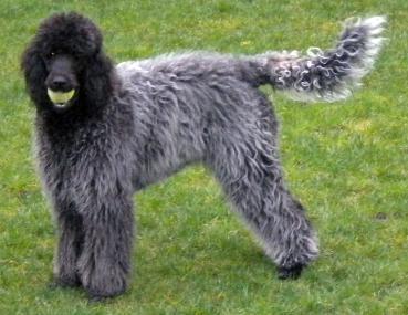 Paris Poodles- Poodles Markings