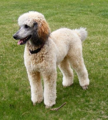 point pattern is  Sable Phantom Standard Poodle